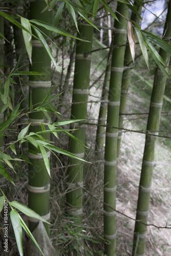 Plexiglas Bamboe fresh bamboo