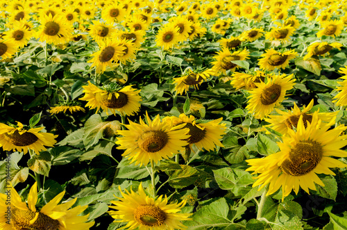 Staande foto Geel The sunflower field is a large field of yellow flowers cut with green leaves.