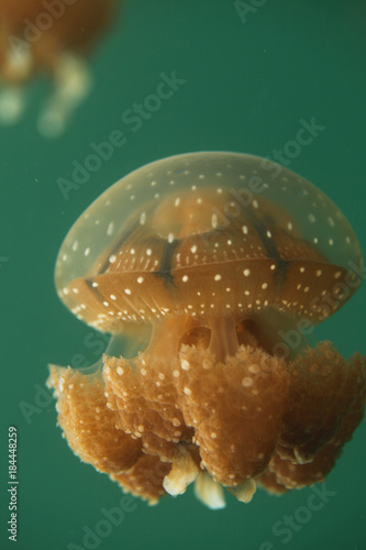 Fototapeta underwater world - swimming jellyfish