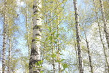 Beautiful white birch trees in spring in forest in good weather - 184449057