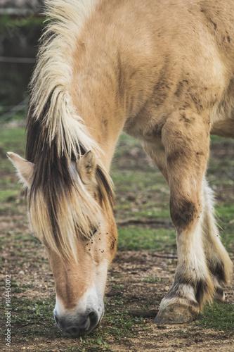 Plexiglas Paarden Brown horse eating grass