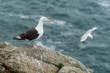 Goéland marin, Larus marinus, sur un rocher - 184450812