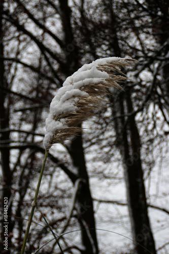 In de dag Gras Pampasgras im Winter