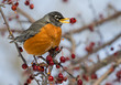 The American robin (Turdus migratorius) eating crababble