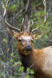 Mule deer hiding in the forrest - 184458889