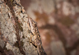 Common house gecko (Hemidactylus spp) lying on a tree branch, Nosy Komba, Madagascar