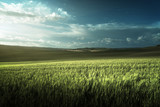 Green field of wheat in Tuscany, Italy - 184490815