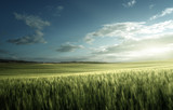 Green field of wheat in Tuscany, Italy - 184490825