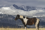 pinto ranch horse in grassy field; snow in mountains - 184491247