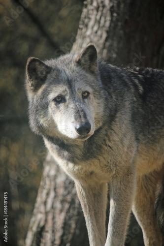 Plexiglas Wolf Wolf standing by a tree