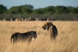 Lion at sunrise - 184498864