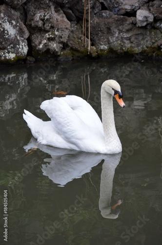 Plexiglas Zwaan Swan's reflection