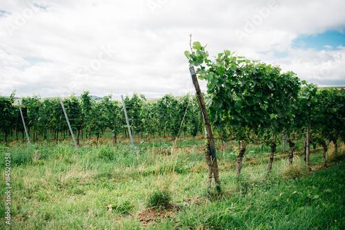 Poster Pistache Beautiful vineyards in Bordeaux