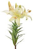 isolated light yellow lily flower with three blooms and buds