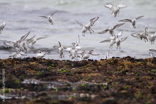 Sanderlings in flight Poster