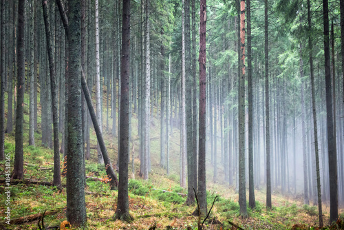 Mysterious fog in the green forest with pine trees © Pavlo Vakhrushev