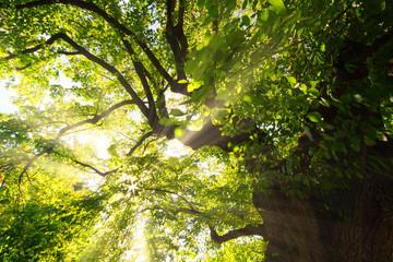 Sun shining through spring leaves