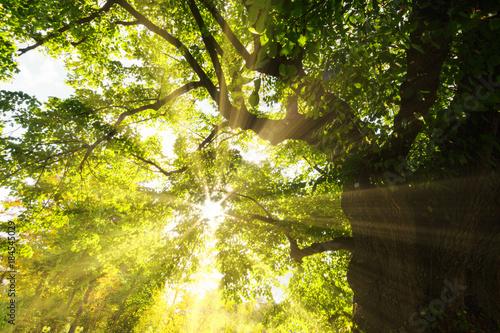 Foto Murales Sun shining through spring leaves