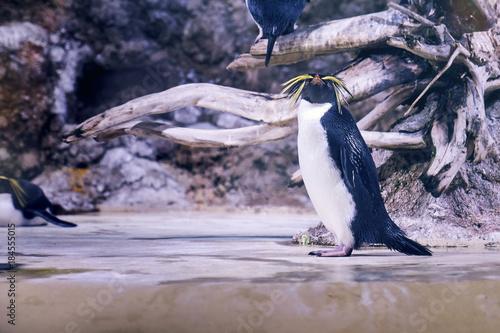 Plexiglas Pinguin Northern rockhopper penguins (Eudyptes moseleyi), also known as Moseleys rockhopper penguin, or Moseley's penguin