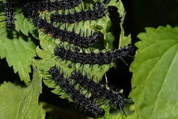 Raupen des Schmetterling Tagpfauenauge, Inachis IO