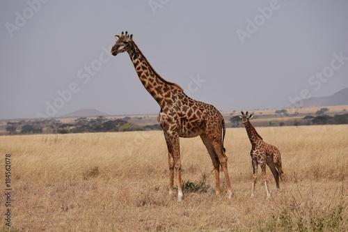 Giraffe in the Serengeti Poster
