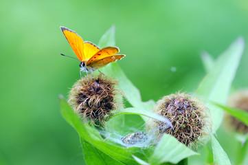 scarce copper (Lycaena virgaureae) butterfly