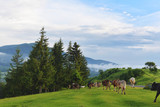 cows graze in the highlands in summer - 184566855