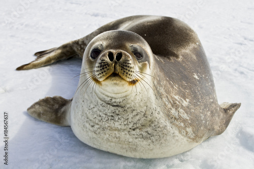 Fotobehang Antarctica Weddell seal(leptonychotes weddellii)resting on the ice of Davis sea
