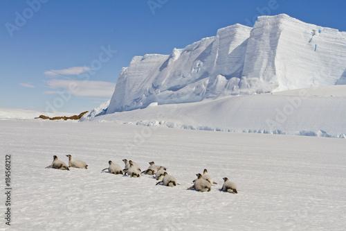Plexiglas Pinguin Emperor penguins(aptenodytes forsteri) walking on the ice amongst icebergs in the sea Davis