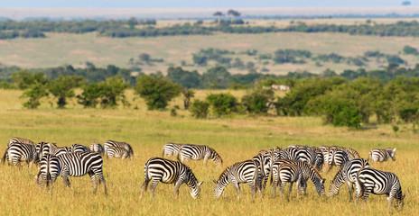 Flock of Zebras grazing grass on the savannah