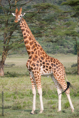 Obraz na płótnie Giraffe in Lake Nakuru National Park