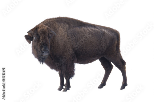 Aluminium Bison bison american