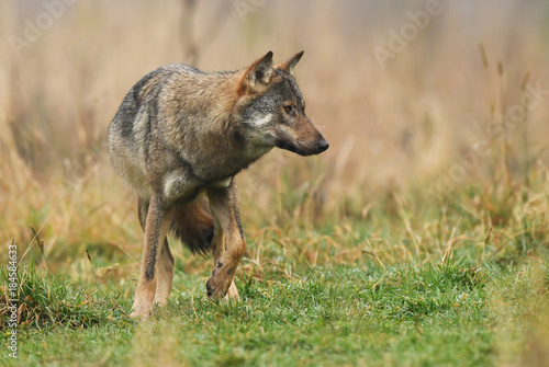 Plexiglas Wolf Wolf (Canis lupus)