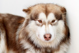 Alaskan Malamute fluffy red lies. - 184614000