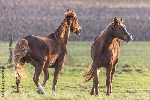 Plexiglas Paarden wiehrende pferde