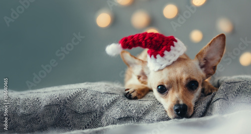 Christmas dog lying down on decorated  living room. Winter vacation concept, domestic pets on holidays