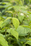 Flower of raspberry with green leaves. - 184663200