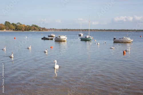 view of the lake with white swans floating between boats Poster