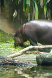 hippopotamus while having its meal in a zoo in singapore - 184670896