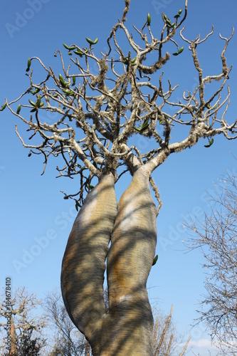 In de dag Baobab Affenbrotbaum (Baobab) in Madagaskar