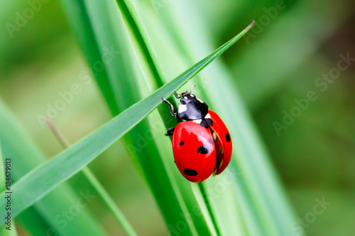 Macro photo of Ladybug in the green grass. Macro bugs and insects world. Nature in spring concept. - 184679013