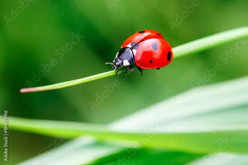 Macro photo of Ladybug in the green grass. Macro bugs and insects world. Nature in spring concept. - 184679416