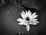 Water lily violet coloured with natural habitat background. - 184685037