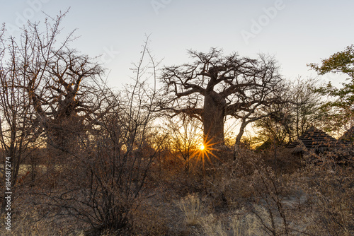 Foto op Plexiglas Baobab Huge Baobab plant in the african savannah with clear blue sky at sunrise. Botswana, one of the most attractive travel destionation in Africa.