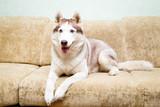 Siberian Husky at home