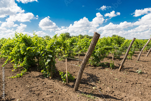 Foto op Aluminium Wijngaard Beautiful vineyards