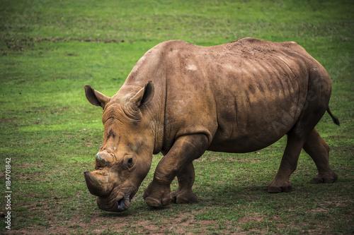 Fotobehang Neushoorn brown rhinoceros grazing