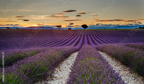 Foto op Aluminium Lavendel Sunset in the Lavender field of Valensole