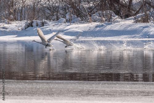 Plexiglas Zwaan swans lake run water spray wintering