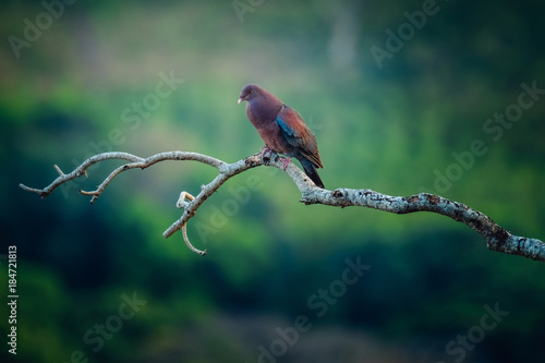 Tropical bird of Costa Rica on the branch with tropical forest on the background